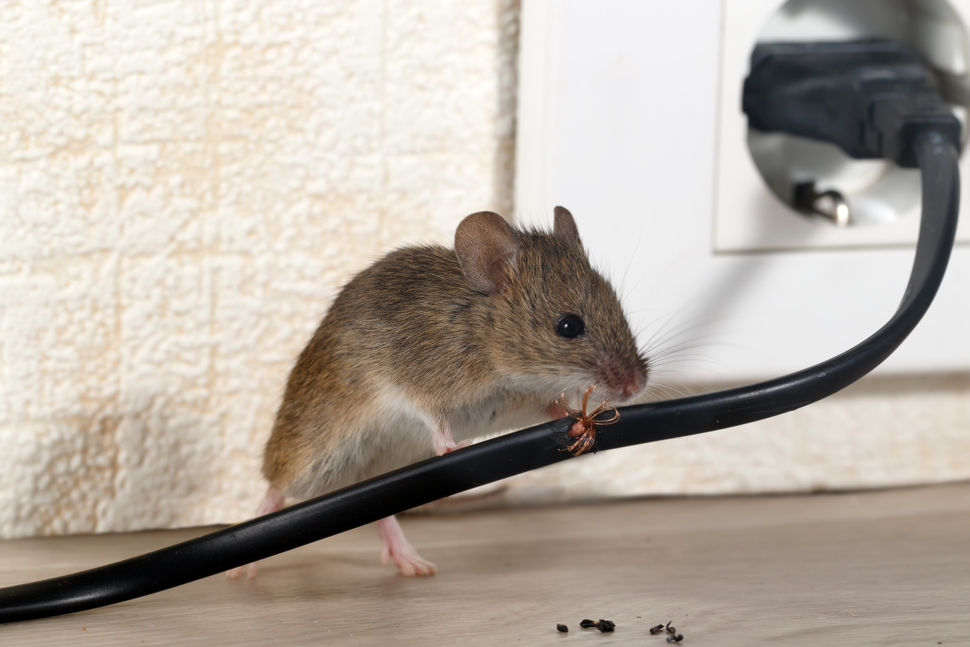 Mice Infestation, Pest Control in Gordon Hill, EN2. Call Now 020 8166 9746