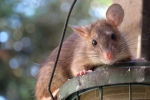 Rat Infestation, Pest Control in Gordon Hill, EN2. Call Now 020 8166 9746