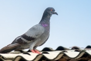 Pigeon Pest, Pest Control in Gordon Hill, EN2. Call Now 020 8166 9746