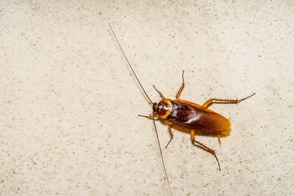 Cockroach Control, Pest Control in Gordon Hill, EN2. Call Now 020 8166 9746