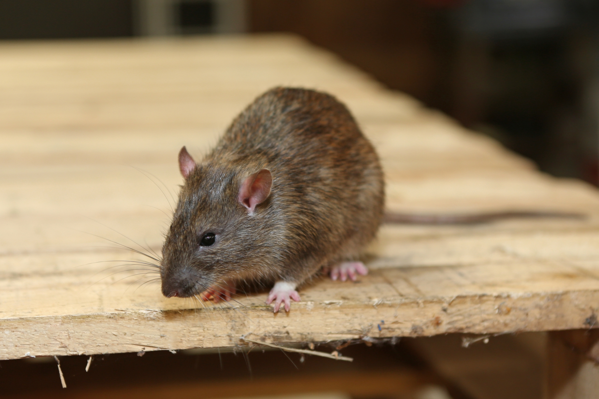 Rat extermination, Pest Control in Gordon Hill, EN2. Call Now 020 8166 9746
