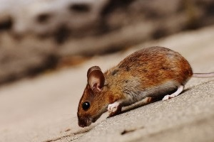 Mouse extermination, Pest Control in Gordon Hill, EN2. Call Now 020 8166 9746
